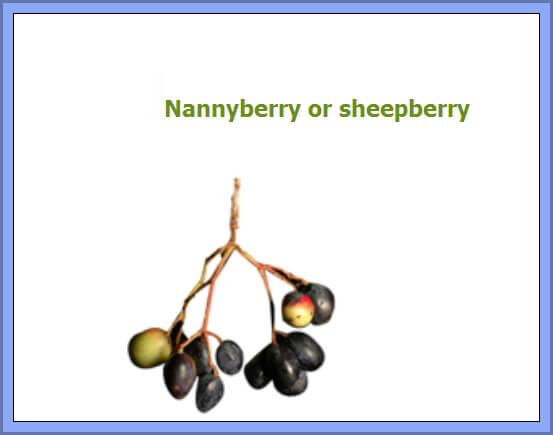 Nannyhberry(sheepberry)